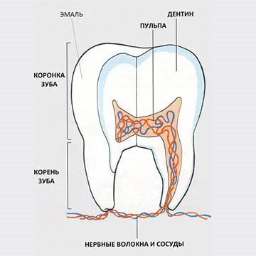зуб человека