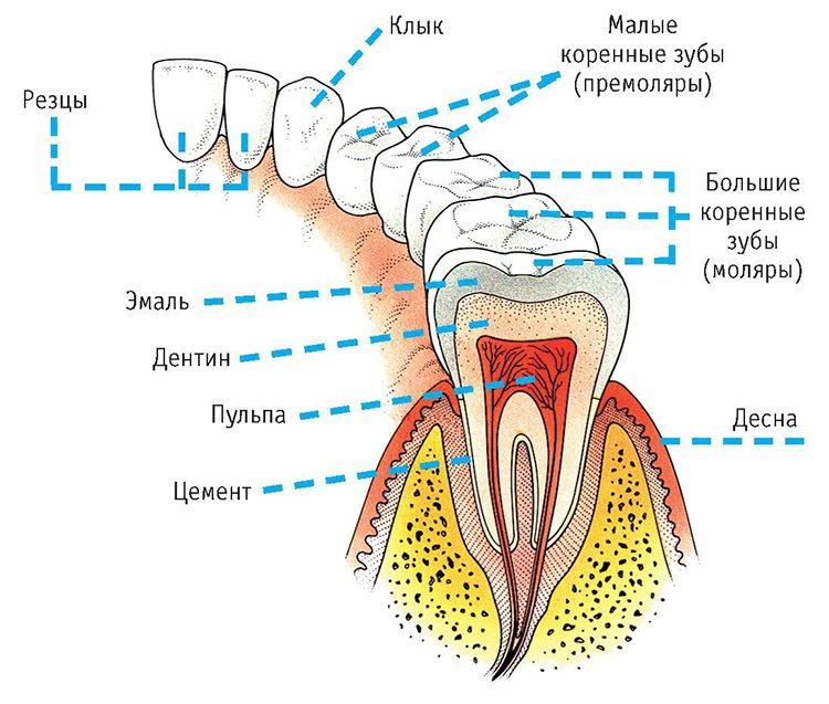названия зубов
