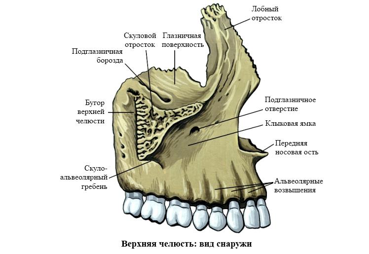 анатомия верхней челюсти