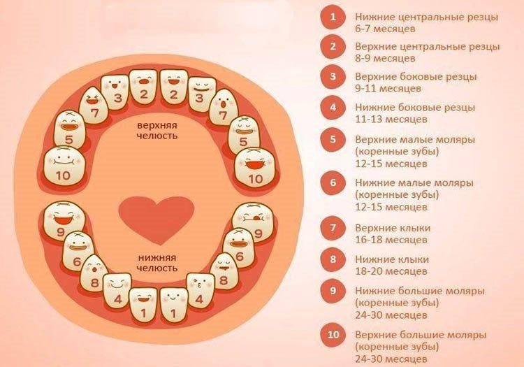 Схема появления зубов