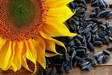 семена подсолнечника