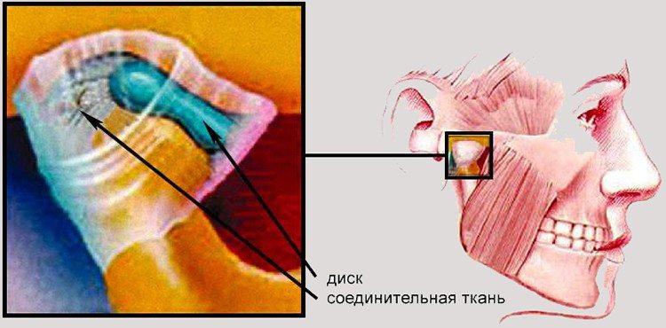 описание челюстного сустава