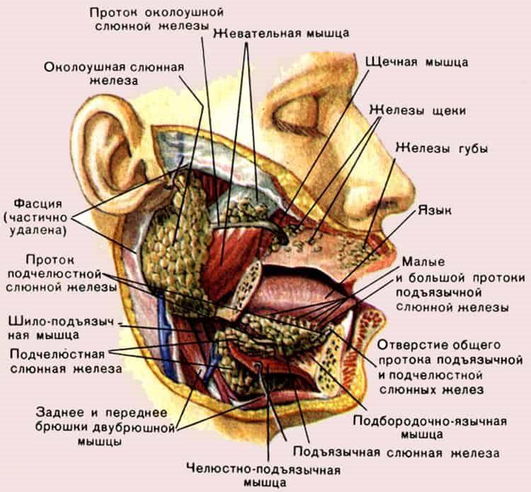 схема желез и мышц лица
