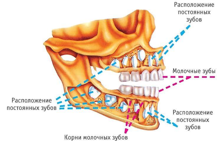 зубы коренные и молочные
