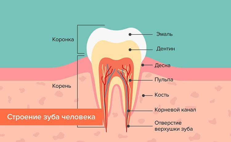 зубы человека - схема