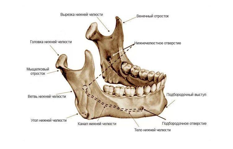нижняя челюсть